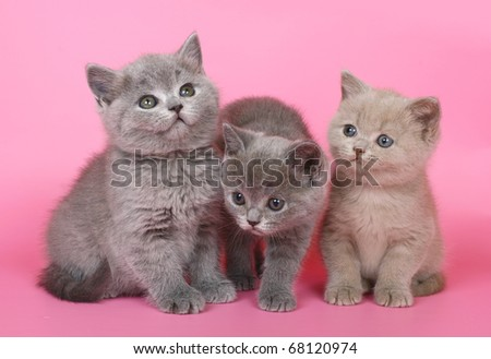 Three British kitten on a pink background. - stock photo