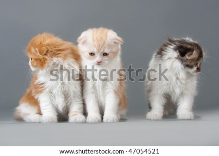 Three brothers  kitten scottish fold breed on gray. No isolated.