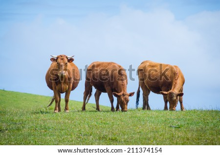 Three brown cows on a hill, two eat grass and one stares at viewer - stock photo