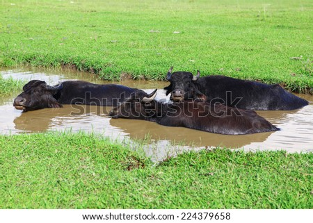 Three buffaloes, laying on pool, escaping from a heat - stock photo