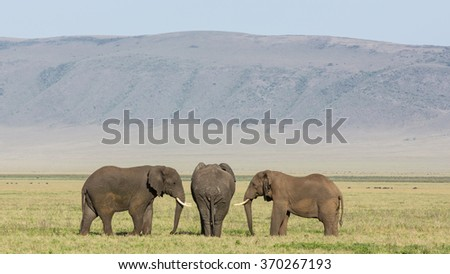 Three Bull Elephants in the Ngorongoro Crater, Tanzania