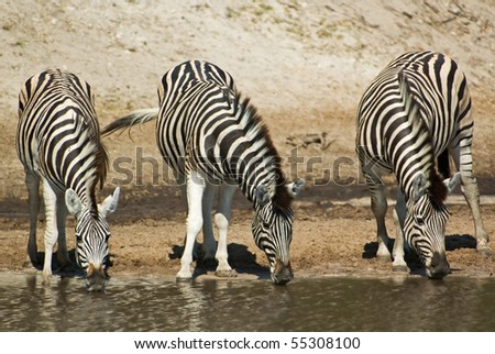 Three Burchells zebra (Equus burchelli) drinking water, Makgadikgadi Pans National Park, Boteti river, Botswana