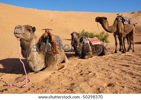 Three camel train waiting - stock photo