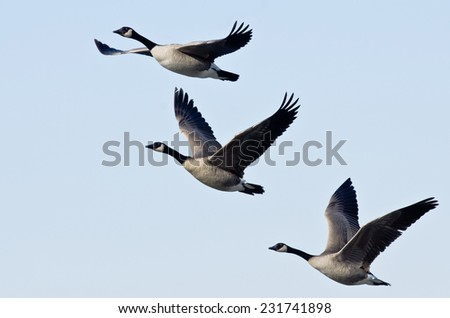 Morning Flight; Canada Goose' Flying during the Sunrise; Nature at