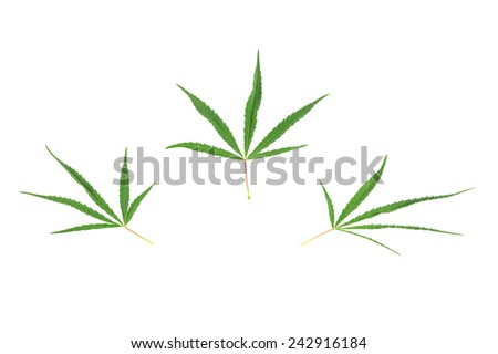 Three cannabis leaf isolated on the white background - stock photo