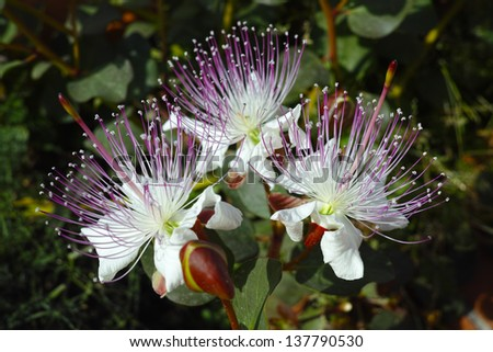 Three caper flowers under sunlight - stock photo