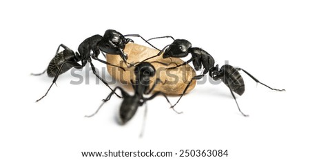 Three Carpenter ants, Camponotus vagus, carrying an egg - stock photo
