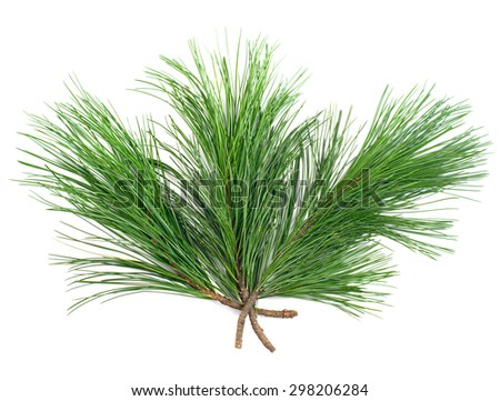 Three cedar  branches on white isolated - stock photo