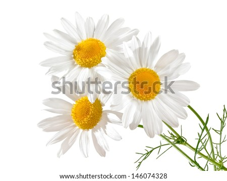 Three chamomile flowers - stock photo