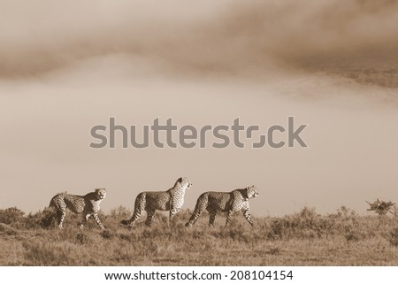 Three cheetah cross the African Plain with the misty mountains as a backdrop. - stock photo