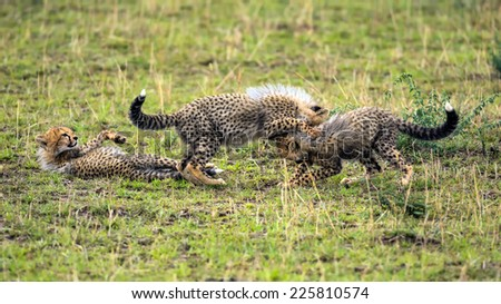 Three cheetah cubs (Acinonyx jubatus) playing on savannah. Maasai Mara National Reserve, Kenya. - stock photo