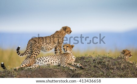 Three cheetahs in the savannah. Kenya. Tanzania. Africa. National Park. Serengeti. Maasai Mara. An excellent illustration. - stock photo