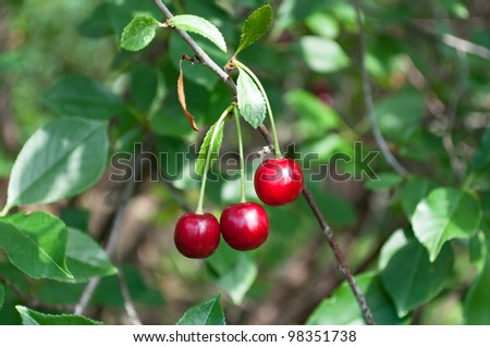 Three cherry fruit on the branch - stock photo