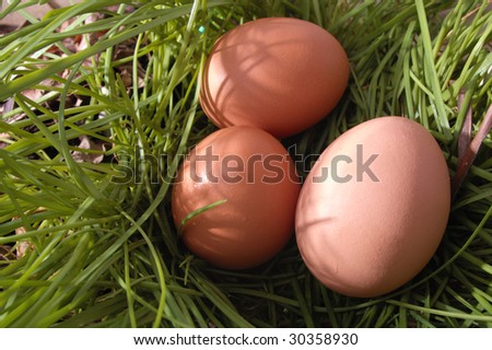 three chicken hens eggs nested in the grass