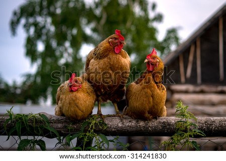 Three chickens on a fence in the village