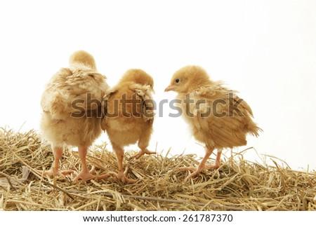 Three Chicks on Hay - stock photo