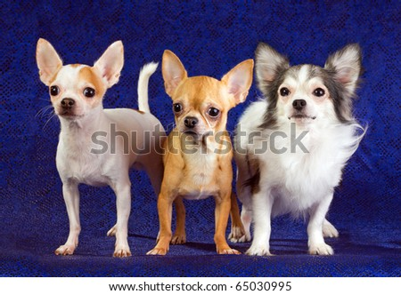 Three chihuahua dog on a blue background