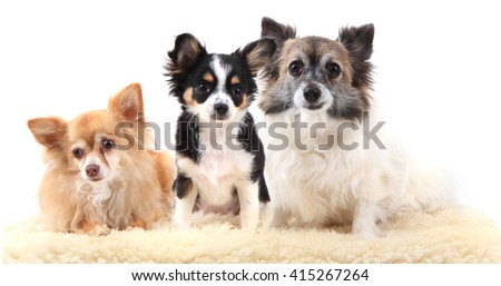 three chihuahua dogs are resting on the white background - stock photo