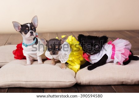 Three chihuahua dogs lying on pillows - stock photo