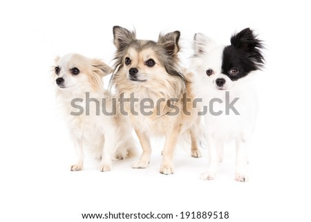 Three Chihuahua dogs on a white background
