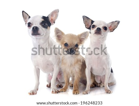 three chihuahua in front of white background