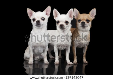 three chihuahua on a black background
