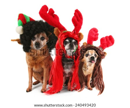 three chihuahuas dressed up for christmas - stock photo