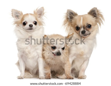 Three Chihuahuas sitting in front of white background