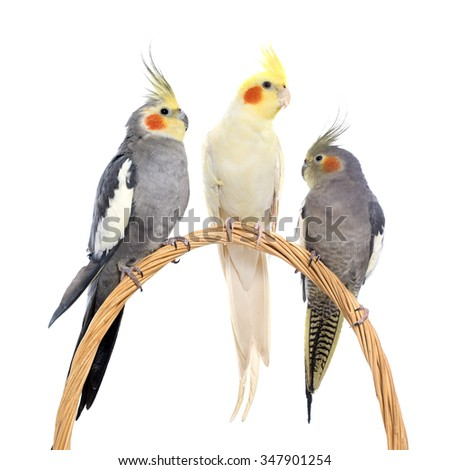 three cockatiel playing in front of white background - stock photo