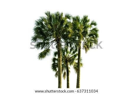 Three coconut palm trees isolated on white background, clipping path included