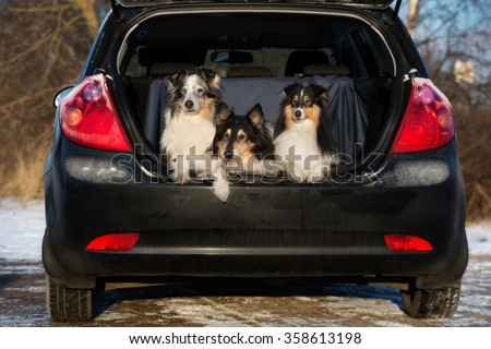 three collie dogs in a car trunk - stock photo
