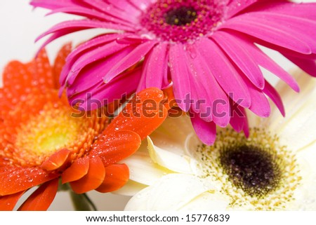 Three colored daisy - red, pink and white - stock photo