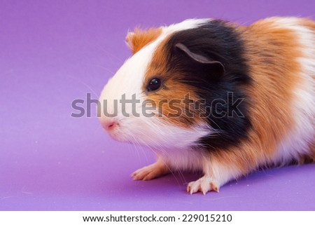 Three-colored guinea pig sitting on lavender background - stock photo