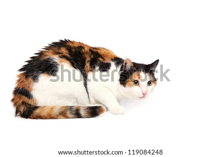 Three-colored kitty cat lying alert and wary on the floor, studio shot, isolated on white - stock photo