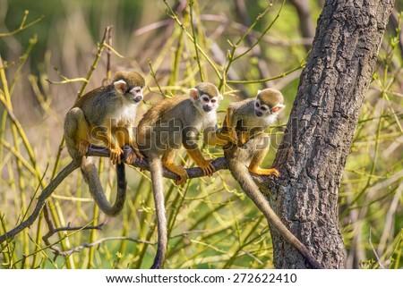 Three common squirrel monkeys (Saimiri sciureus) playing on a tree branch - stock photo