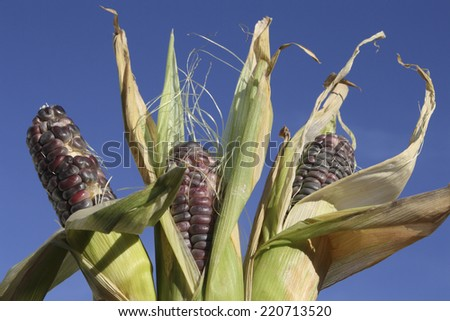 Three Corn Ears in the Sky - stock photo