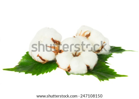 Three cotton plant buds with green leaves isolated  over white background - stock photo