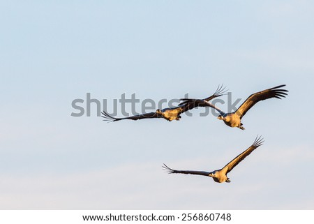 Three cranes flying in the sky - stock photo