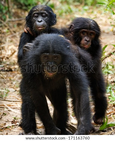 Three cubs of a chimpanzee bonobo ( Pan paniscus)  go together - stock photo