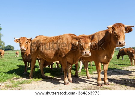 Three curious red brown Limousin beef cows  standing grouped together looking curiously at the camera on the skyline in a green pasture, blue sky behind
