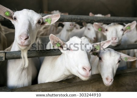 three curious white goats stick their heads through bars of stable