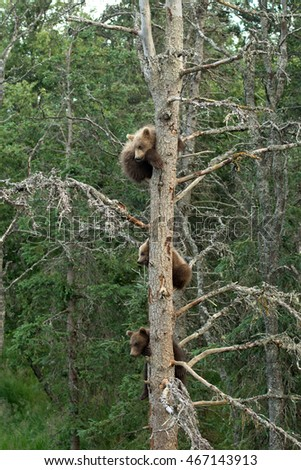 Three cute Alaskan brown bear cubs resting in a tree near Brooks Falls in Katmai National Park