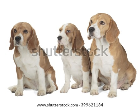 three cute beagle dog isolated on white background