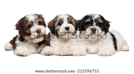 Three cute bichon havanese puppies are lying next to each other in front of camera, isolated on white background