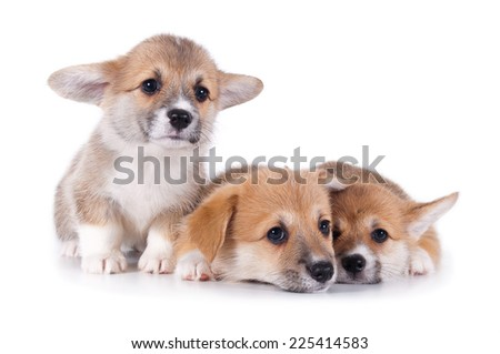 three cute corgi puppies isolated on white background