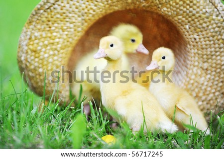 three cute fluffy  ducklings sitting in straw hat