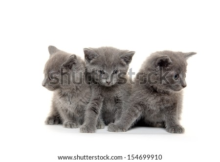 Three cute gray American shorthair kittens on white background