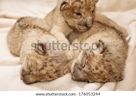 Three cute lions cubs (Panther Leo), two weeks old - stock photo