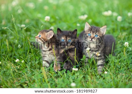 Three cute little kittens walking on the clover lawn