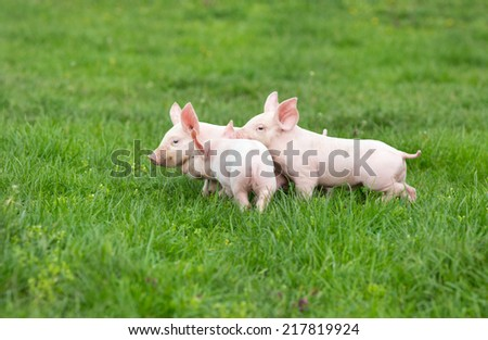 Three cute piglets walking and playing on grass - stock photo